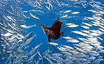 Playa del Carmen Sailfish