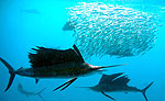 Sailfish Cancun Snorkeling Adventure