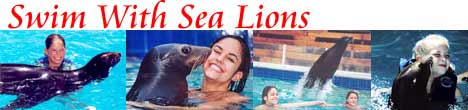 Sea Lion Swims